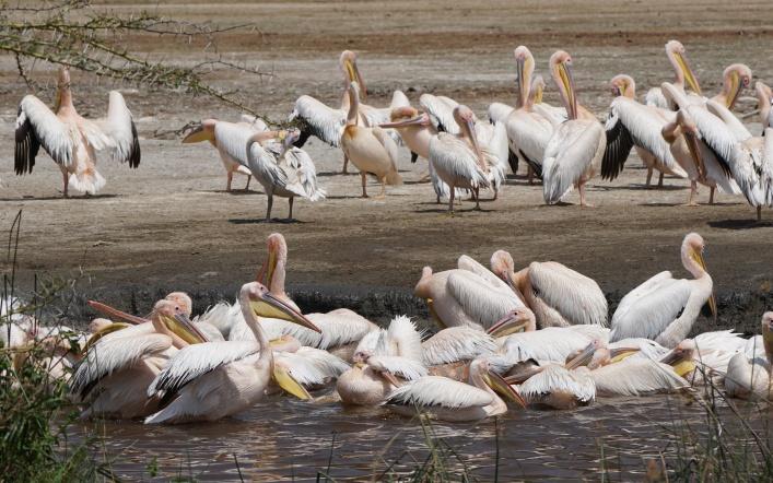 Pink Pelicans at Lake Manyara