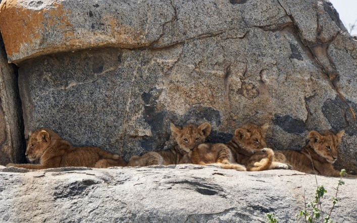 Lion Cubs on the Kopjes…